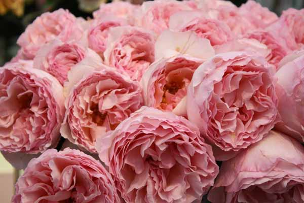 meilland jardin parfum rose princesse charlene de monaco available at www - Garden Rose