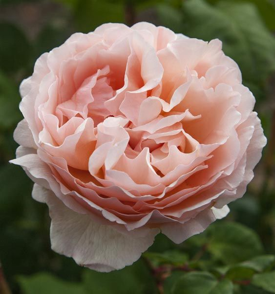 Meilland Jardin & Parfum Rose 'Princesse Charlene de Monaco'. Available at www.parfumflowercompany.com   David Austin Wedding Roses, Meilland Jardin & Parfum Roses and other Luxury (scented) roses