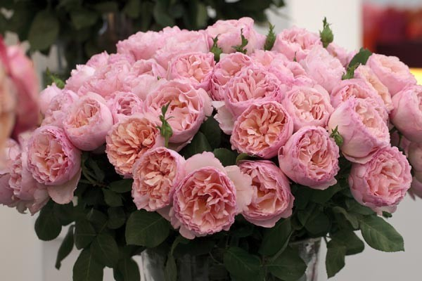 Meilland Jardin & Parfum Rose 'Princesse Charlene de Monaco'. Available at www.parfumflowercompany.com | David Austin Wedding Roses, Meilland Jardin & Parfum Roses and other Luxury (scented) roses