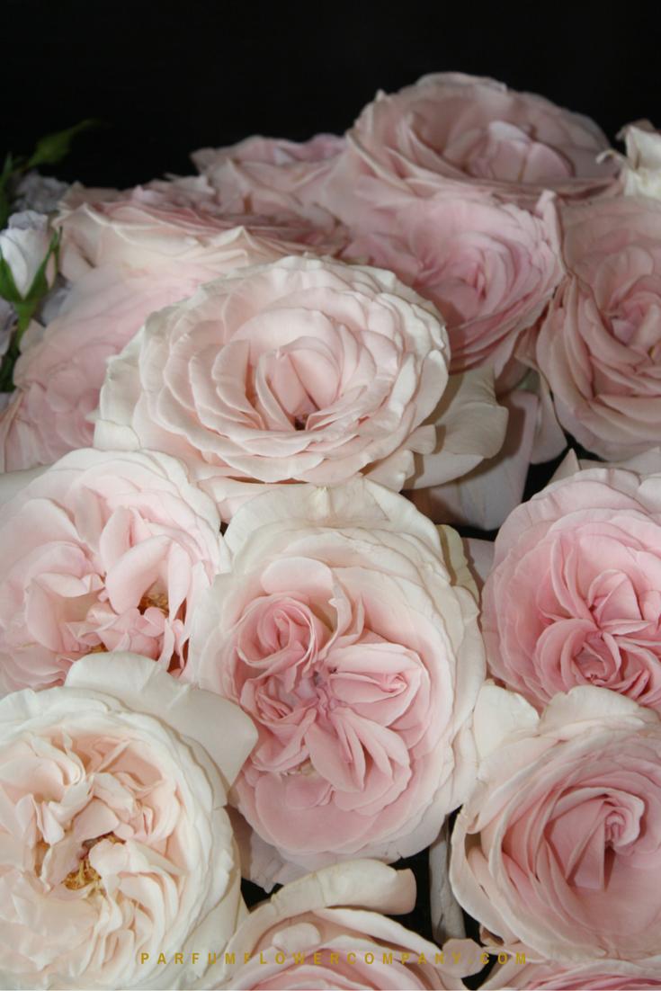 Rose prince jardinier for Jardins de jardiniers