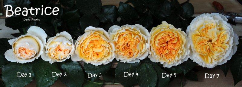 Form hoa hồng Beatrice qua các giai đoạn nở. Nguồn ảnh: Parfumflowercompany.com