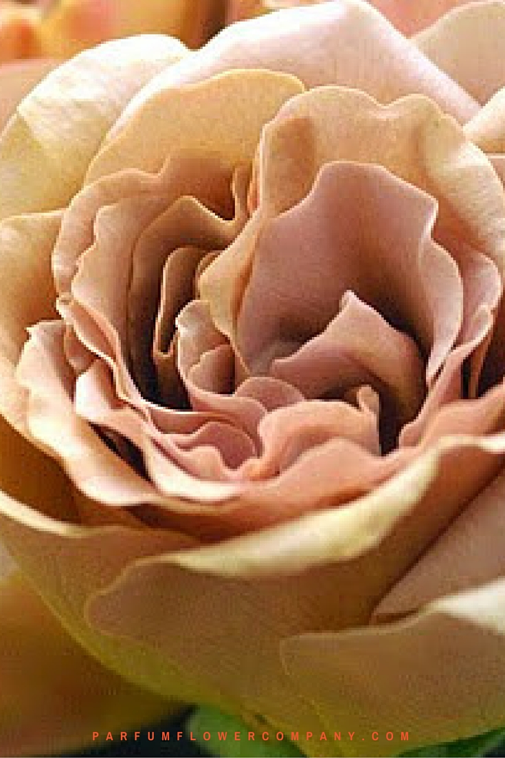 Scented Cafe Latte brown roses 007