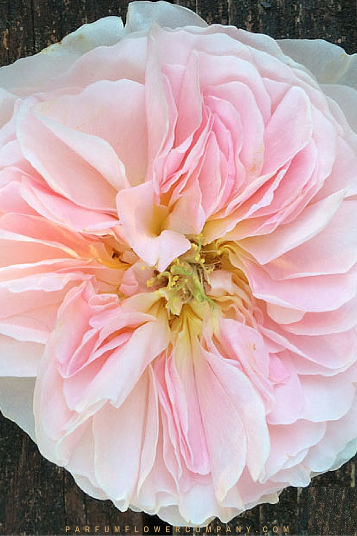 David Austin Wedding rose Charity 003