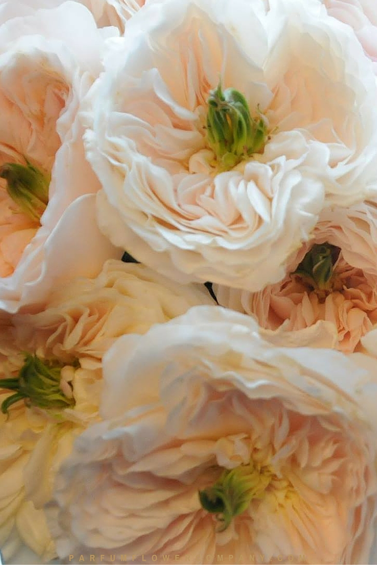 David Austin Wedding rose Charity 009