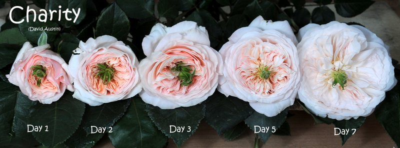 Charity rose flower stages