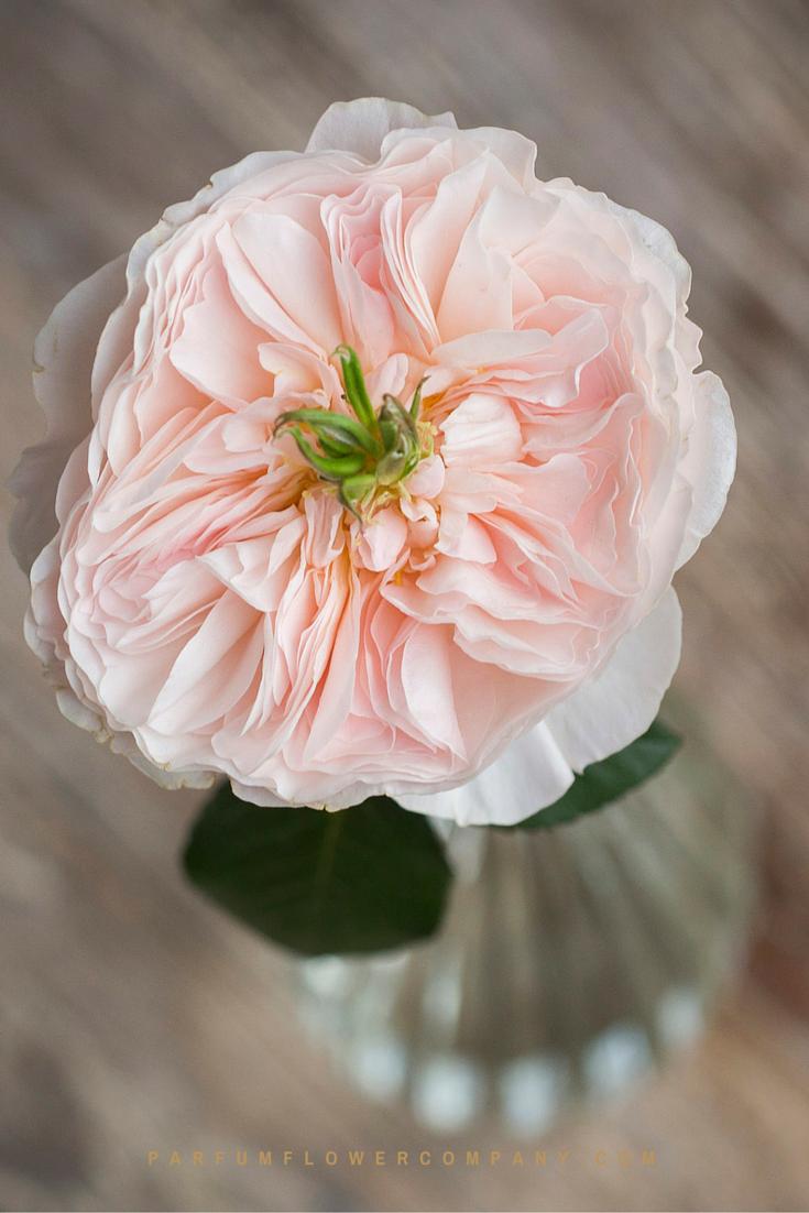 David Austin Wedding Rose Charity