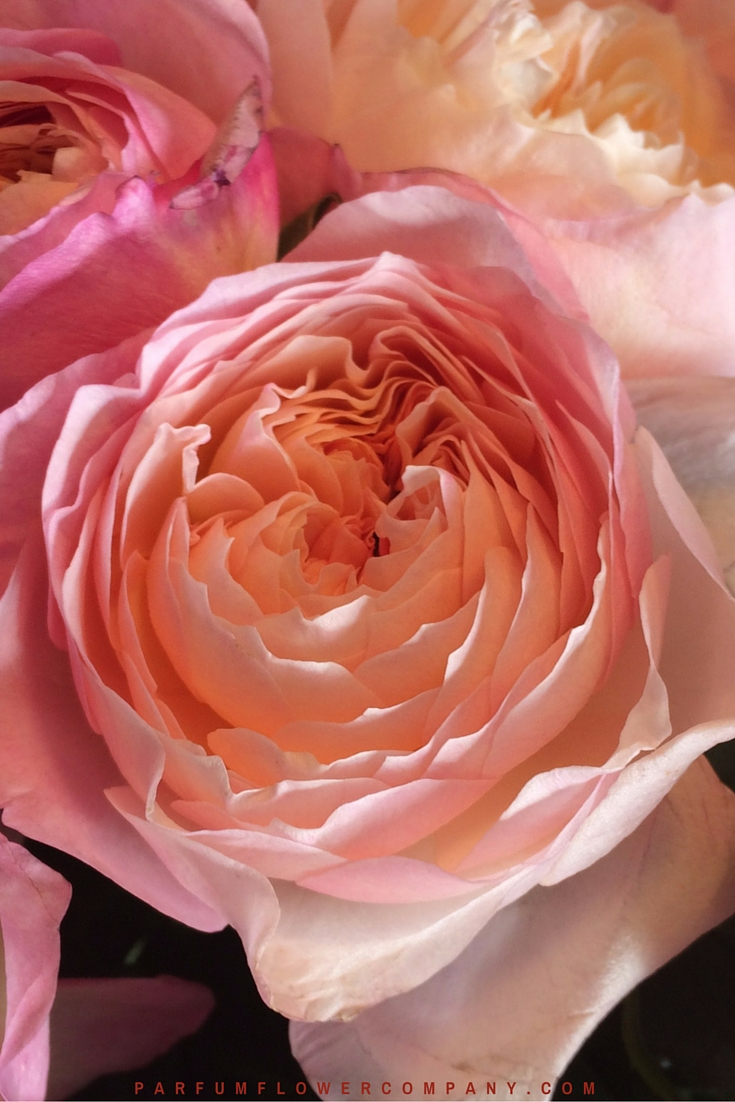 David Austin Wedding Rose Constance 007 2