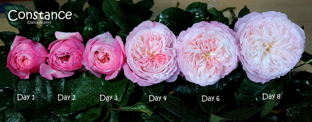 Constance rose flower stages