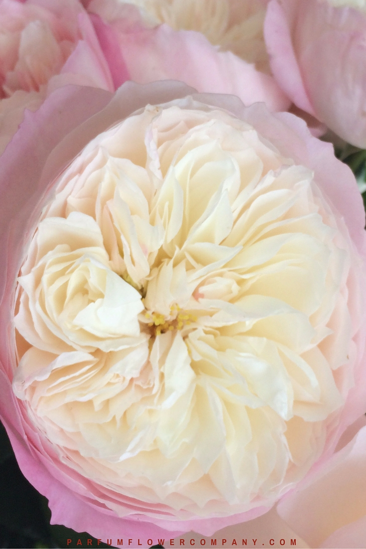 David Austin Wedding Rose Constance 012