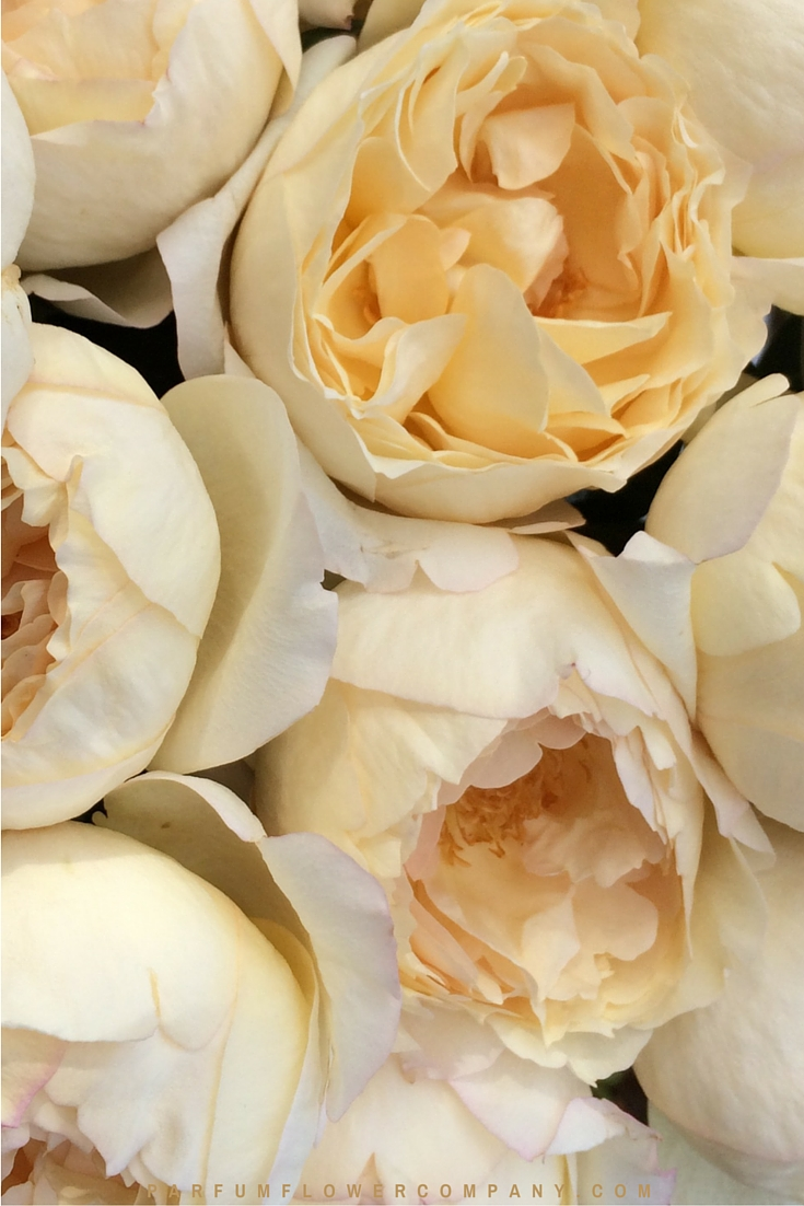 Cream Yves Piaget - Premium Scented Garden Rose from the Meilland Jardin & Parfum collection 001