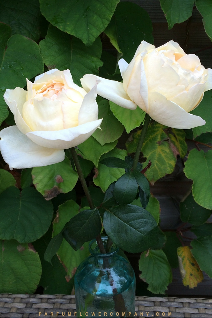cream yves piaget premium scented garden rose from the meilland jardin parfum collection 002 - Cream Garden Rose