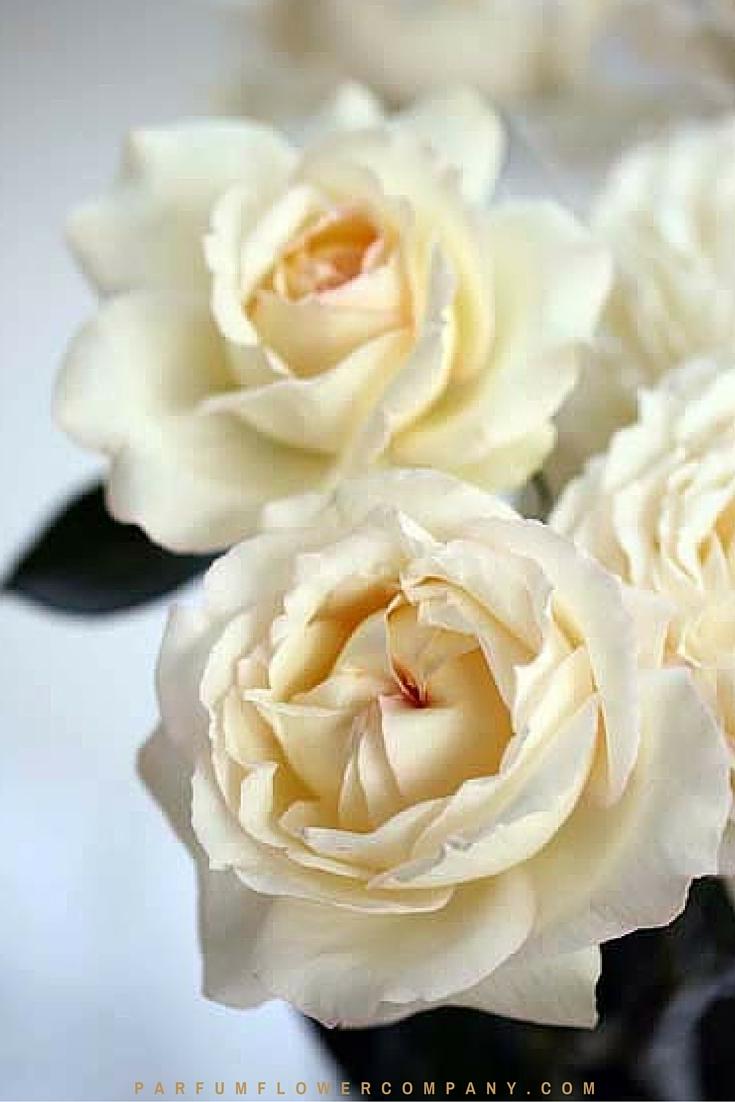 Delicieux Cream Yves Piaget   Premium Scented Garden Rose From The Meilland Jardin U0026  Parfum Collection 003
