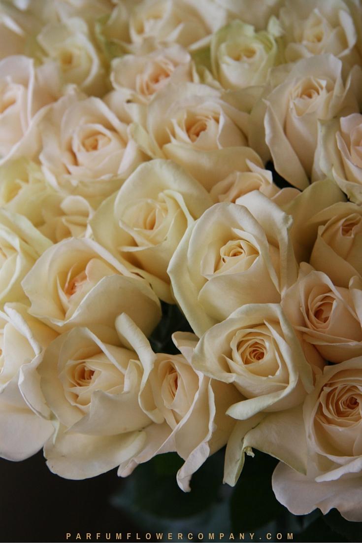 Cream Yves Piaget   Premium Scented Garden Rose From The Meilland Jardin U0026  Parfum Collection 006