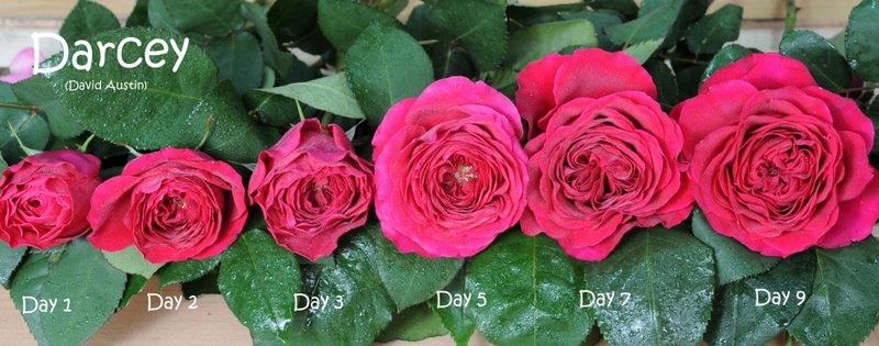 Darcey Stages of flowering