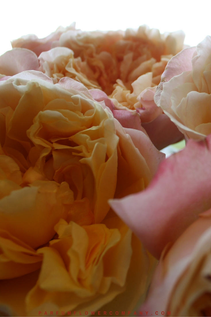 David Austin Wedding rose Edith 018 @ www.parfumflowercompany.com