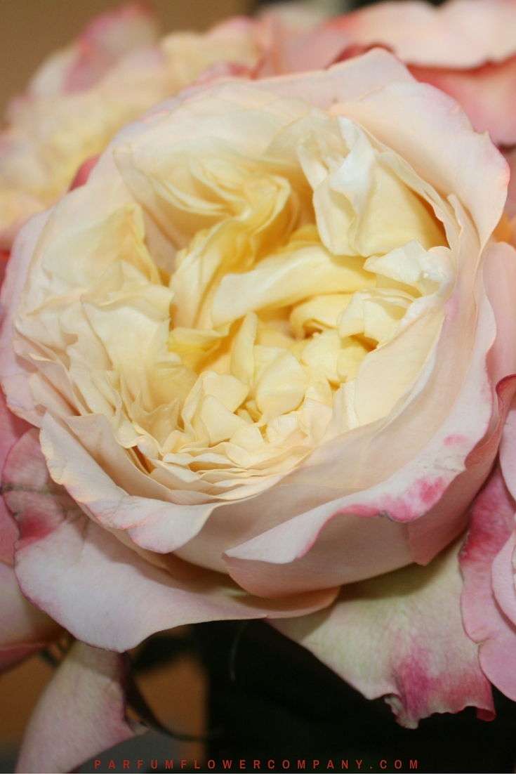 David Austin Wedding Rose Edith