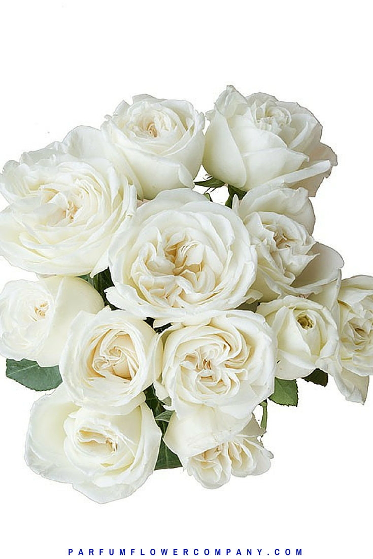 Jeanne Moreau Rose, also known as White Perfumella rose. Meilland jardin et parfum collection 011