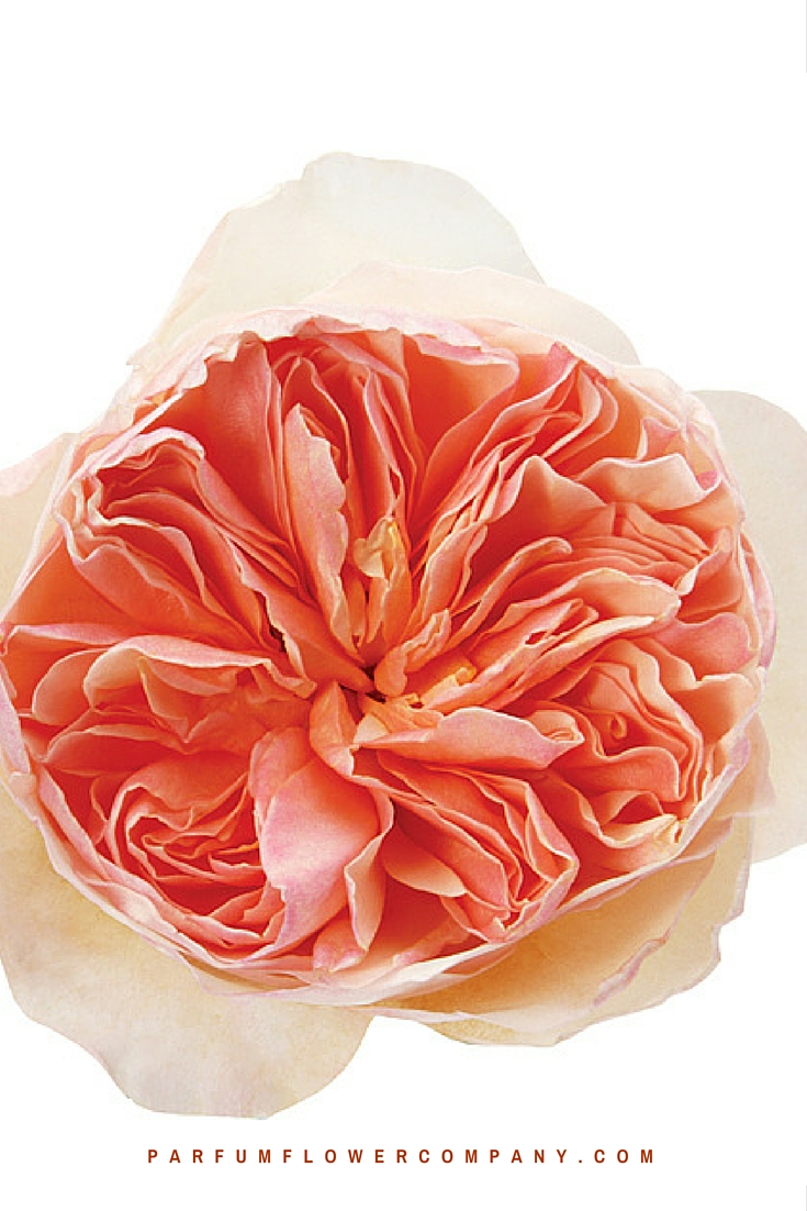 Peach David Austin wedding Rose Juliet 005