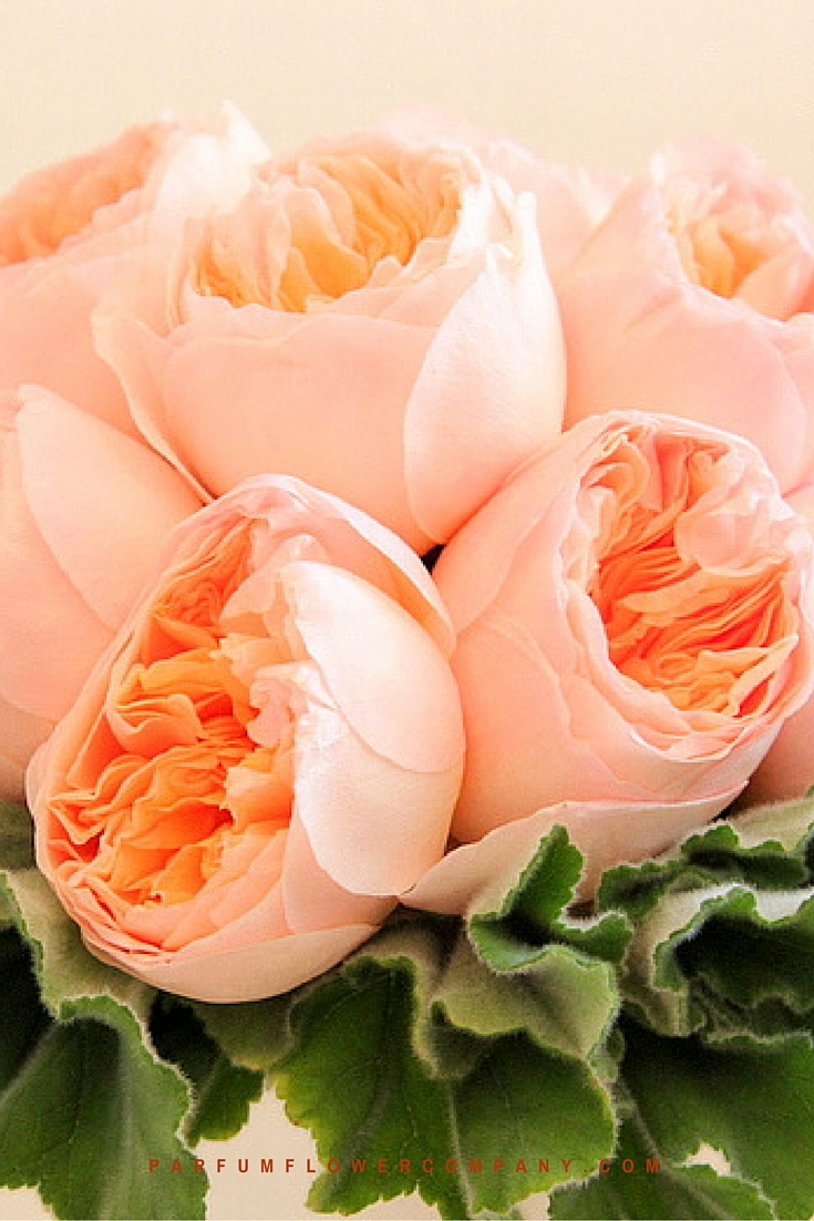 Peach David Austin wedding Rose Juliet 012