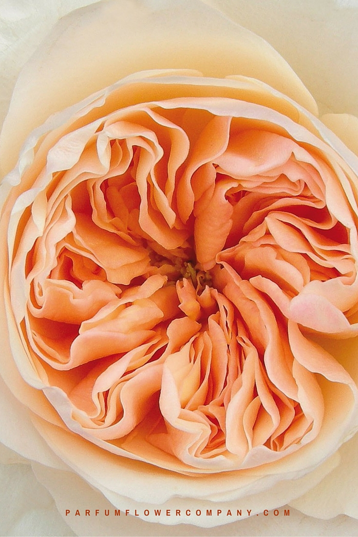 Peach David Austin wedding Rose Juliet 015