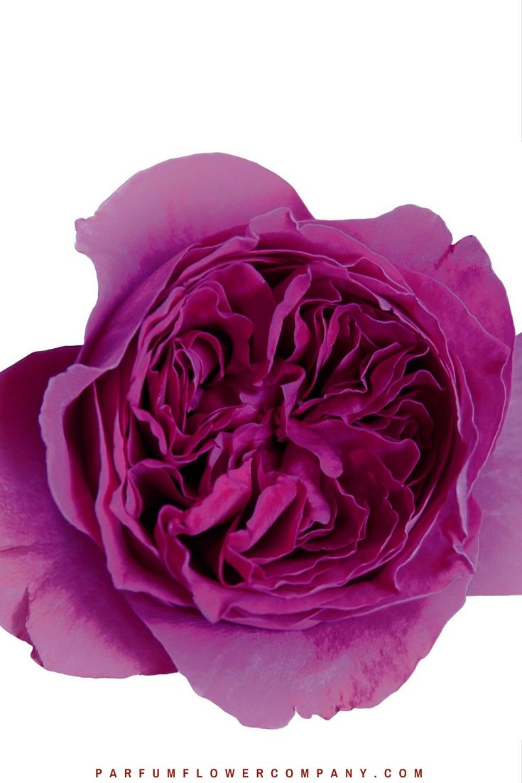 David Austin Wedding rose Kate 002