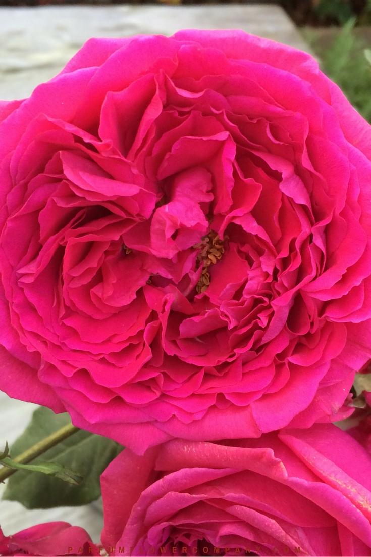 David Austin Wedding rose Kate 003