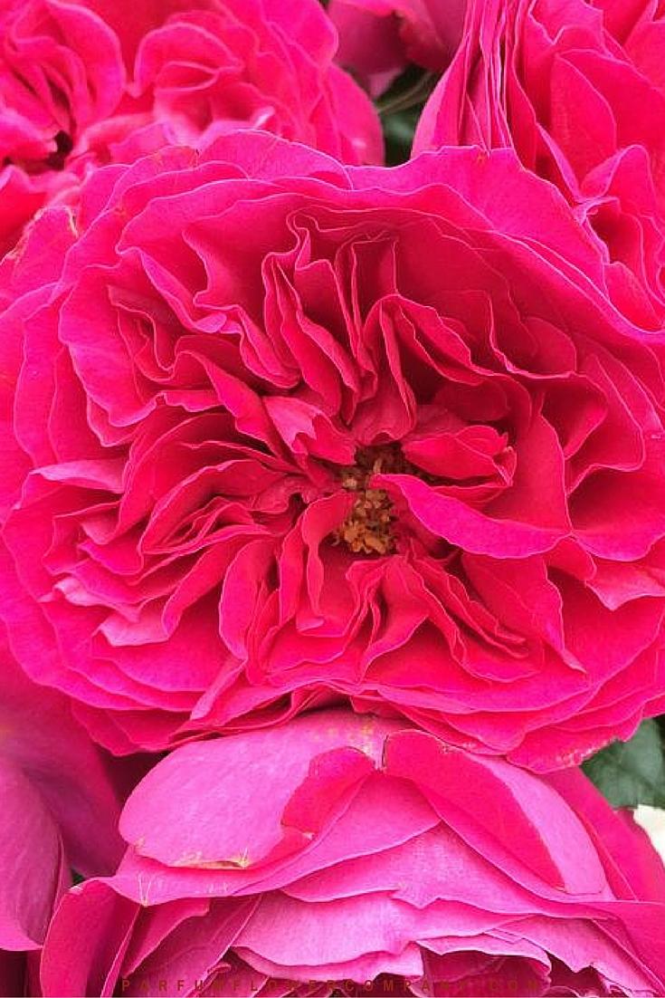David Austin Wedding rose Kate 004
