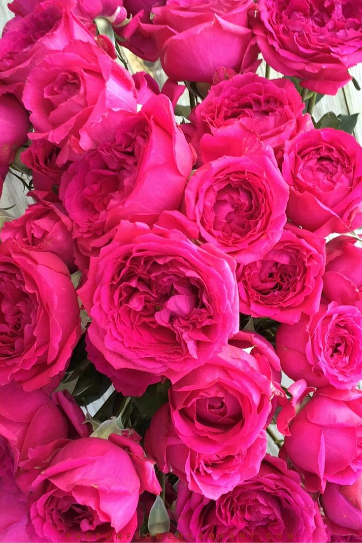 David Austin Wedding rose Kate 005