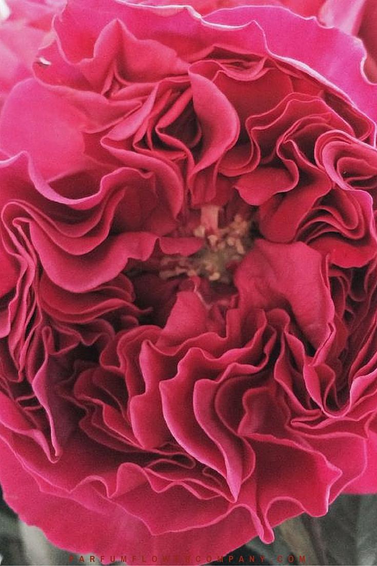 David Austin Wedding rose Kate 006