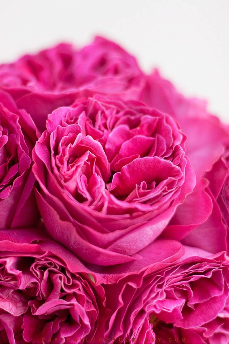 David Austin Wedding rose Kate 007