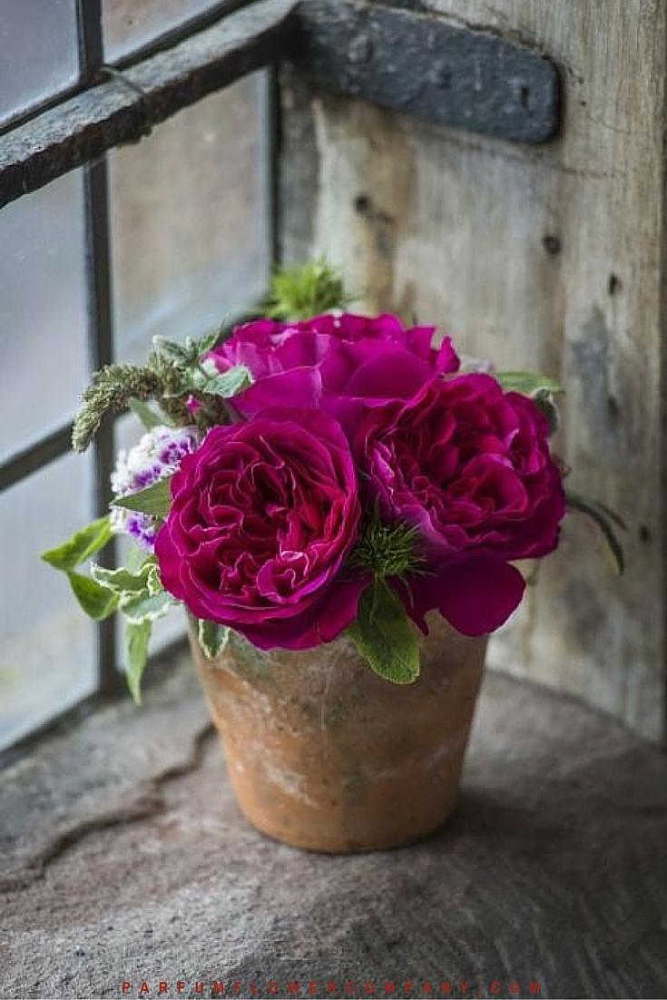 David Austin Wedding rose Kate 020