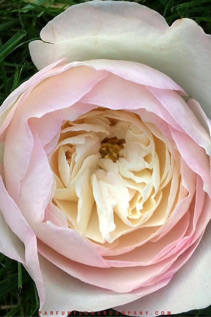 David Austin Wedding Rose Keira Parfum Flower Company