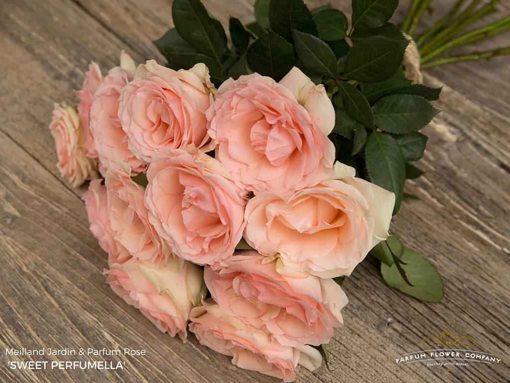 Meilland jardin parfum rose sweet perfumella parfum for Jardin roses