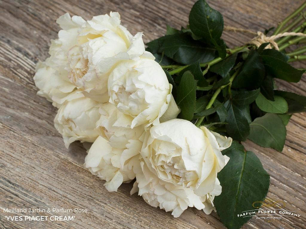 rose cream yves piaget - Cream Garden Rose