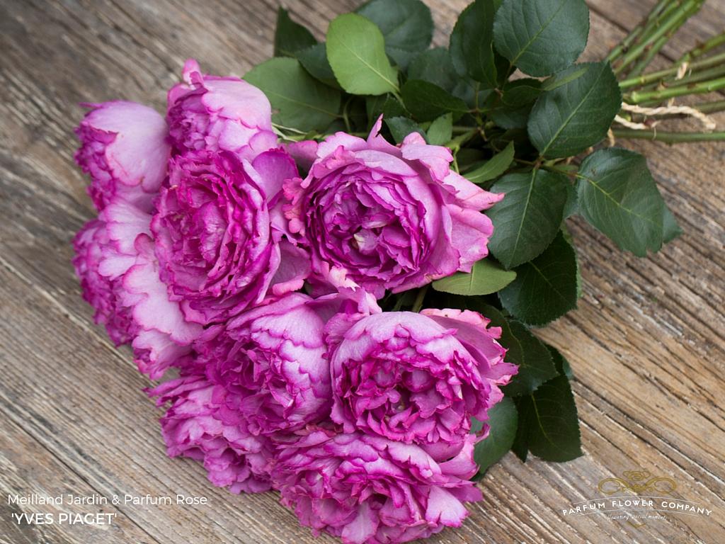 Meilland Jardin & Parfum rose Yves Piaget