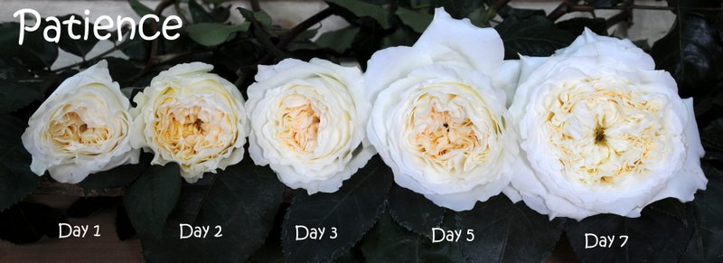 patience roses flower stages - White Patience Garden Rose