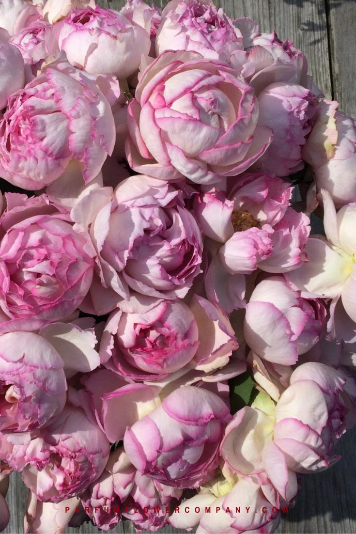 rose pink yves piaget