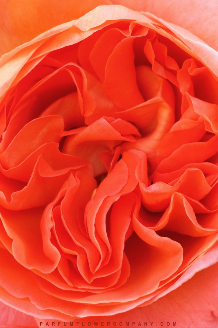 Orange Garden Rose orange garden rose wedding bouquet hips roses cabbage calla for decor