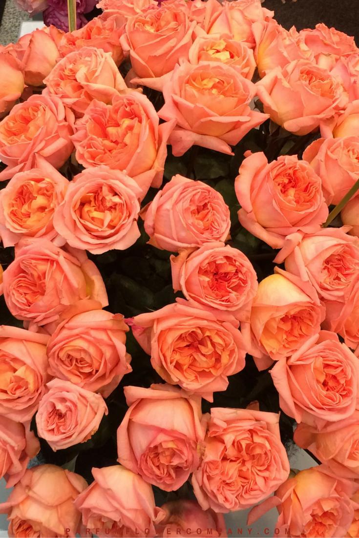 Rene Goscinny - Meilland jardin & Parfum Rose. Premium Scented Orange garden rose - 003