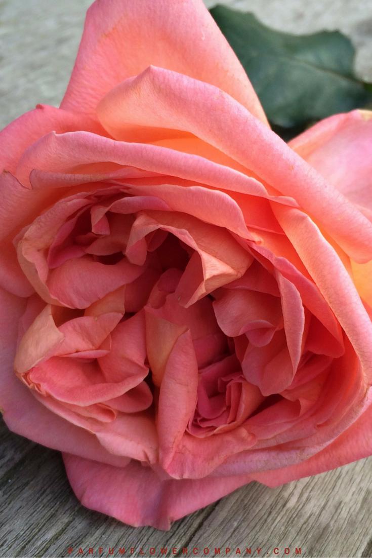 Rene Goscinny - Meilland jardin & Parfum Rose. Premium Scented Orange garden rose - 004