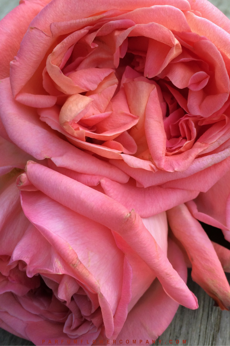 Rene Goscinny - Meilland jardin & Parfum Rose. Premium Scented Orange garden rose - 005