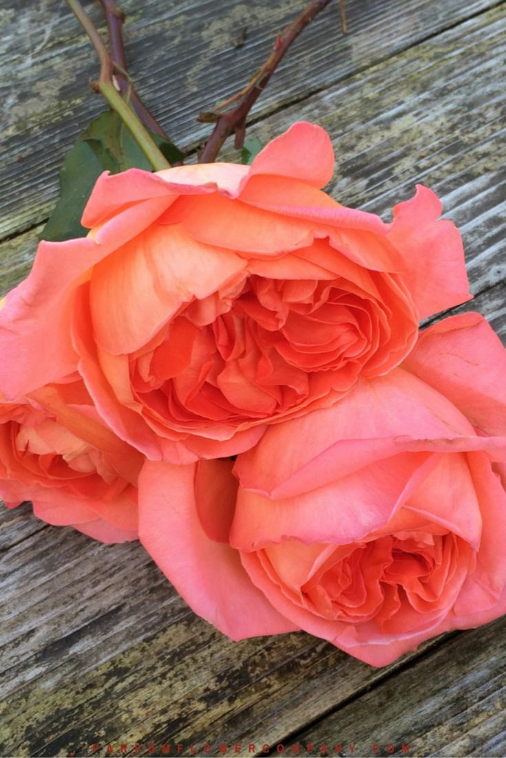 Rene Goscinny - Meilland jardin & Parfum Rose. Premium Scented Orange garden rose - 006