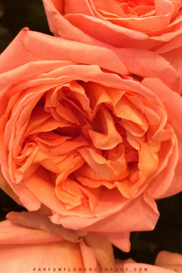 Rene Goscinny - Meilland jardin & Parfum Rose. Premium Scented Orange garden rose - 007