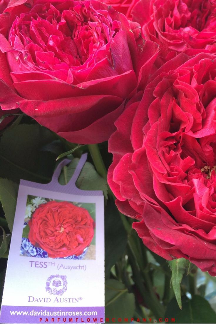 David Austin Wedding Rose Tess 007