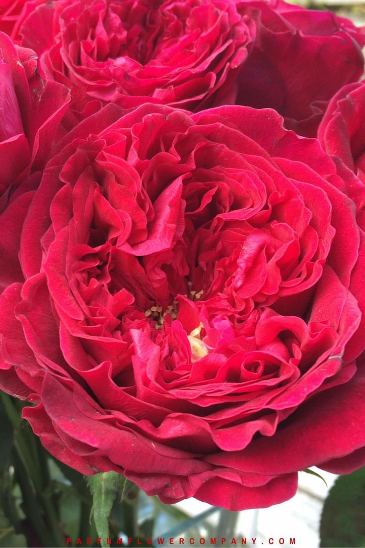 David Austin Wedding Rose Tess 008