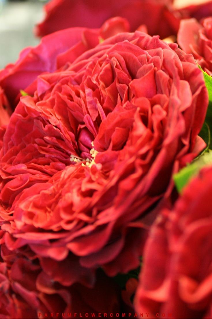 David Austin Wedding Rose Tess 009