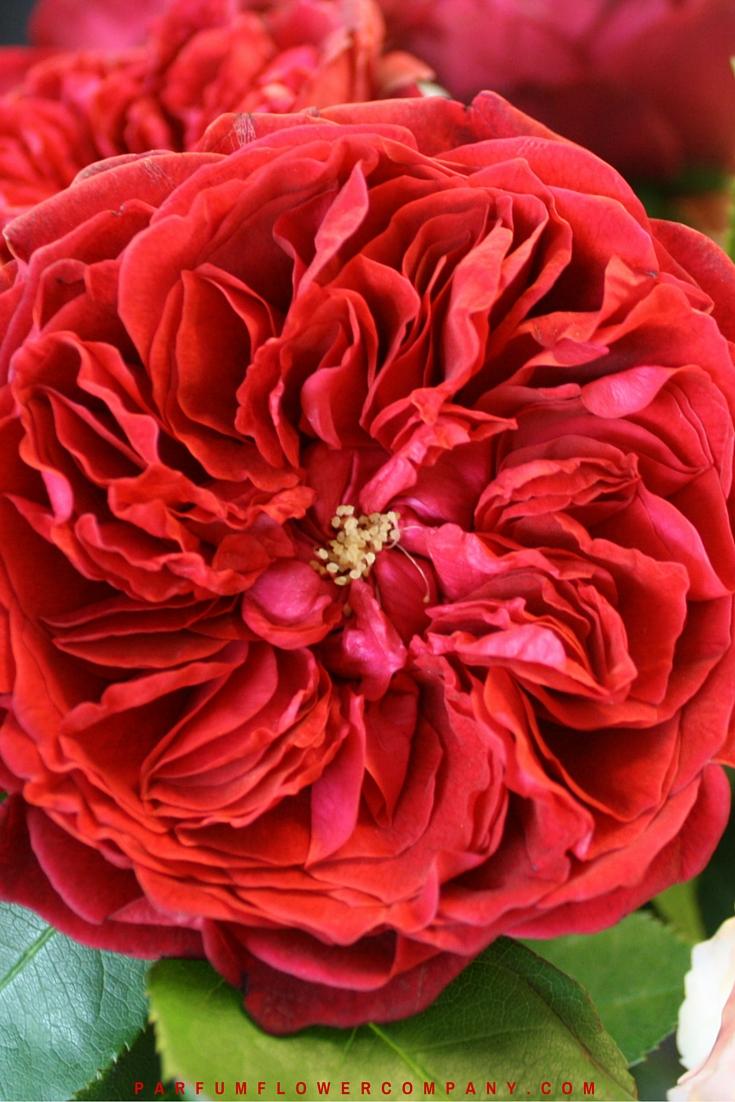 David Austin Wedding Rose Tess 010