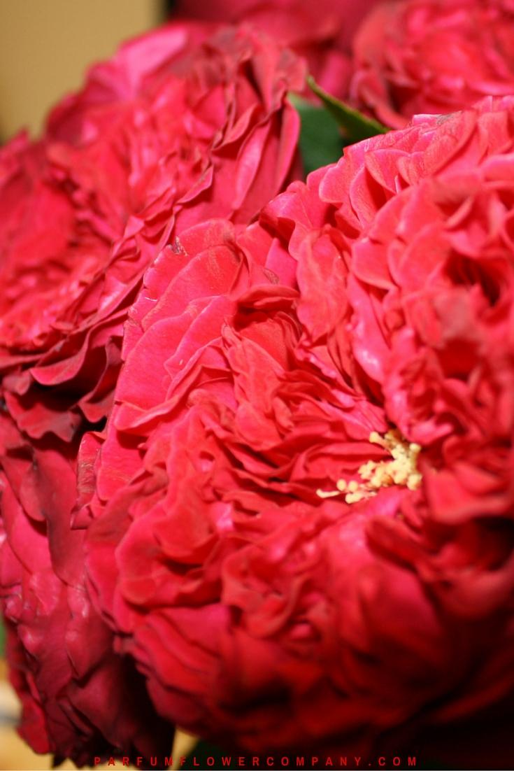 David Austin Wedding Rose Tess 011
