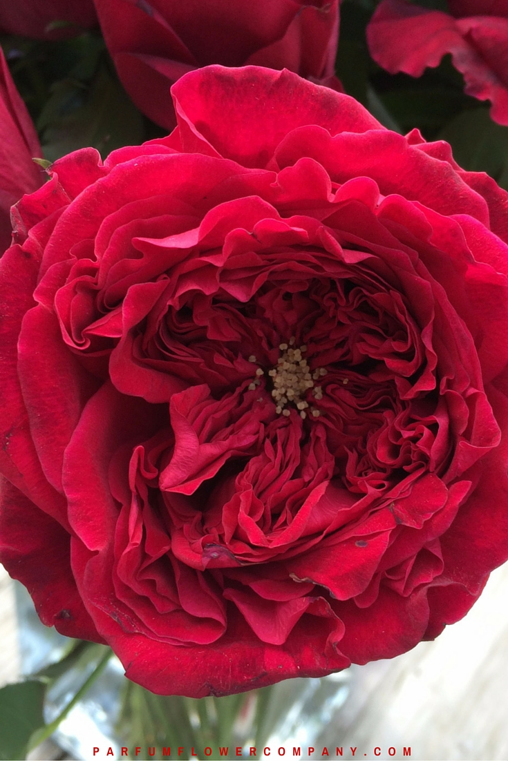 David Austin Wedding Rose Tess 013