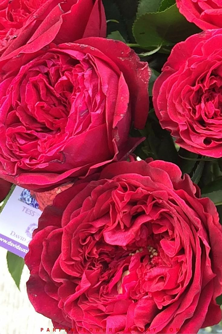 David Austin Wedding Rose Tess 014